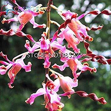 VISA STORE 100pcs Beutel Dendrobium Samen Topf Samen Seltene Phaenopsis Orchid Samen Bonsai Gewächshaus der angehende Rate von 99%