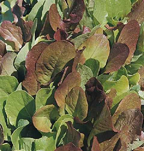 AGROBITS Laitue Select salade 200 non Ogm
