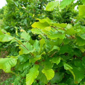 20 Stück Fagus sylvatica - (Rotbuche) Heckenpflanzen im Topf 30 - 50 cm