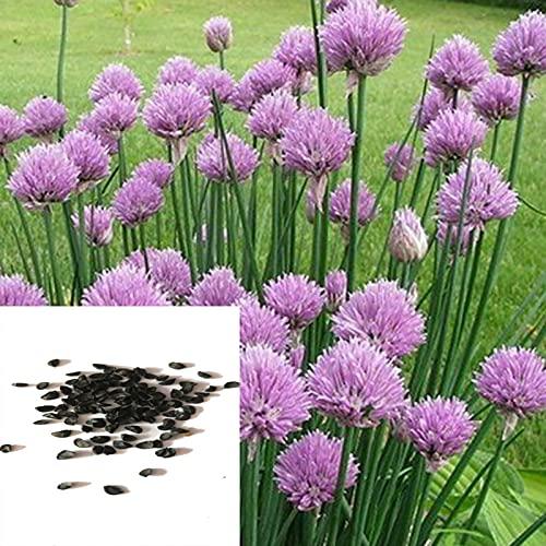 Semillas para plantar, 3000 unidades/bolsa de semillas de cebollino chino productivo de alto rendimiento para patio - semillas de cebollino verde Ezo