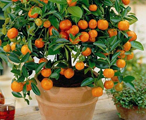 10 Edible Fruit Mandarin Bonsai Tree Seeds, Citrus Bonsai Mandarin Orange Seeds