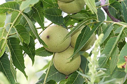 Schwarznuß Juglans nigra Pflanze 35-40cm Schwarznussbaum Walnuß Nussbaum Rarität