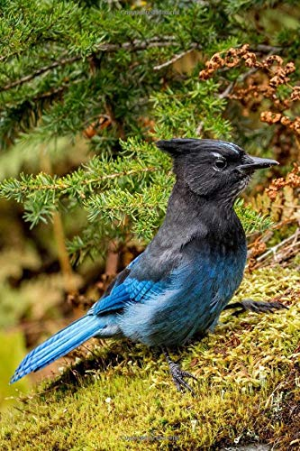 Steller's jay Notebook, Journal, Diary - Classic Writing 120 Lined Pages...