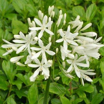 Seedeo Schmucklilie Weiß (Agapanthus...