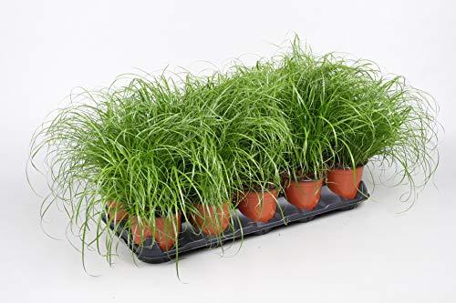 4 Stück Premium Katzengras Pflanze mit Topf Cyperus Zumula Ø 12 cm | Cyperus Katzengras fertig gewachsen | Leckereien für Katzen Gras Pflanze Katzengras Topf Cat Grass