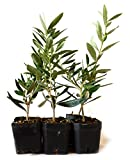 9Greenbox Tree of Peace, Olive Tree-Olea Europaea, 4 Pound (Pack of 6)