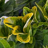 Plants by Mail BP-75Q 2.5 Qt. Golden Euonymus, Yellow