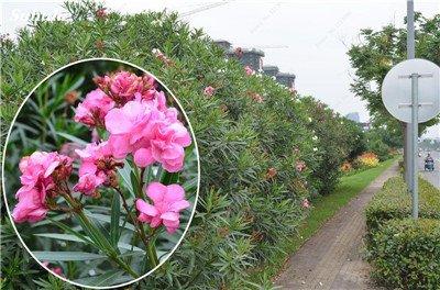 150 Pcs Nerium Graines Oleander plantes en pot semencier japonais Jardin Décoration Bloom Graine Facile à cultiver purifient l'air 11