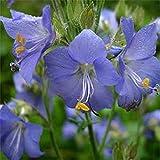Jacobs Ladder- Blue- 50 Seeds