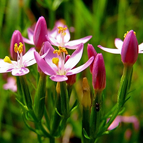 Centaury Seeds (Centaurium erythraea) 100+ Rare Medicinal Herb Seeds in FROZEN SEED CAPSULES for the Gardener & Rare Seeds Collector - Plant Seeds Now or Save Seeds for Years
