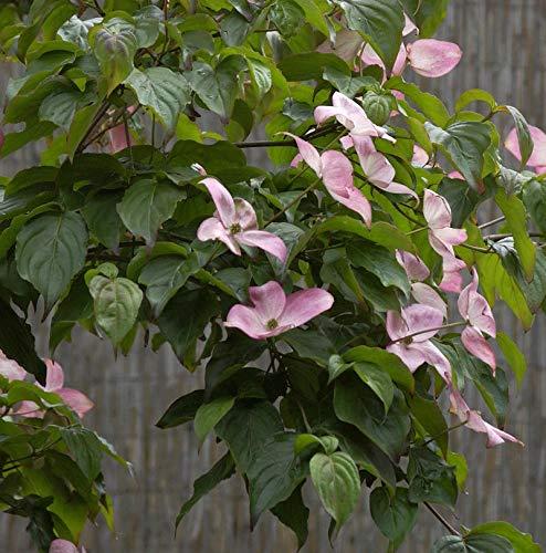 Japanischer Blumenhartriegel Satomi...
