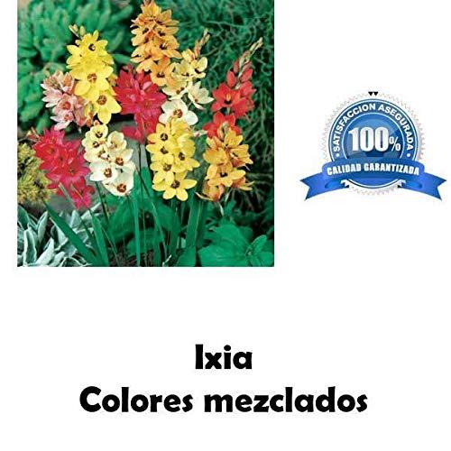 GETSO Samen-Paket Nicht Pflanzen: 4 Samen Mischfarben reizende Blumen Ixia