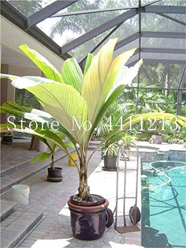 Bloom Green Co. 10 Pcs/bag Bottle palm tree Bonsai Exotic Bonsai tree Tropical Ornamental plant bonsai for home garden Four seasons Decoration: 20
