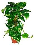 Scindapsus aureum, Efeutute, Zimmerpflanze im 15er Topf, ca. 50 cm hoch