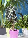 Keland Garten - 20pcs Rarität Elefantenohr Riesenblättriges Pfeilblatt, Tropenwurz exotisch Blumensamen winterhart mehrjährig als Zimmerpflanze