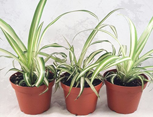 Ocean Spider Plant – Easy to Grow – Cleans The Air – New – 3 Pack