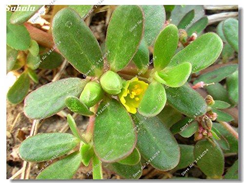 En soldes! Pourpier semences Bonsai herbes médicinales légumes semences jardin plantes à fleurs d'intérieur Pot de fleurs 50 Pcs chaleur Tolerant