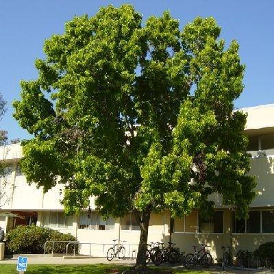 50 Semi americana Liquidambar Tree, Liquidambar styraciflua