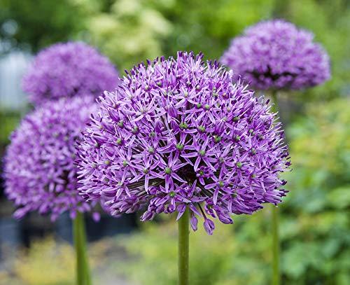 Zierlauch 10 Samen (Allium Giganteum) Eindrucksvolle, große Globen
