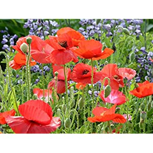 Red Corn Poppy Flower Seeds (Papaver Rhoeas), Pack of 100,000+ Seeds by Seeds2Go