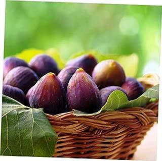 ELLA Plant Beer's Black Fig Ficus Carica Live Plant Dwarf Habit - EB154