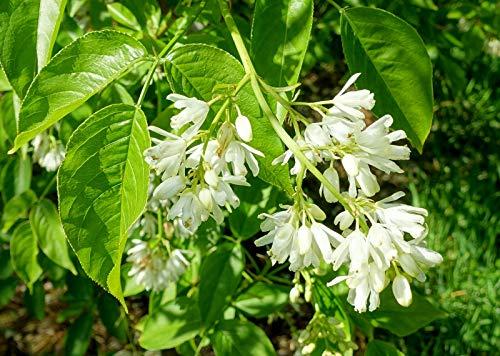 Kolchische Pimpernuss Staphylea colchica Pflanze 35-40cm Nussbaum Rarität