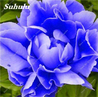10 Pcs Pivoine graines, semences Potted extérieur, Bonsai Flower Seed, Variété complète, facile à cultiver, d'ornement-plantes pour jardin 16