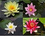 Nenufares plantas de estanque lote de 4 nenufar blanco rojo rosa y amarillo