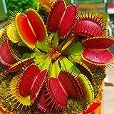 Dionaea Semillas, 100 piezas / bolso Semillas atrapamoscas de Venus completa Sun carnívora ácida...