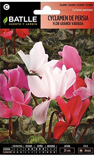 Semillas de Flores - Cyclamen de Persia flor grande variado