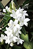 Stephanotis floribunda madagascar gelsomino vid rara esotica semi di fiore 10 semi Vendiamo semi non solo la pianta. Il prezzo include funzioni customes Seeds è il pacchetto completo. Trasporto che a livello internazionale
