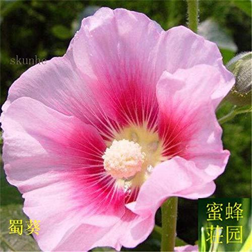Sophora Japonica Bonsai zehn Fuß rot Bonsais gekocht Saison Blume Bonsais Rong Kwai Zaun Blume über 100pcs (SHU kui): 2