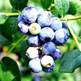 Blueberry Plants 'Sweetcrisp' Includes (4) Four Plants with 4 oz. of Organic Fertilizer from Hello Organics & 4 Hello Organics Tags