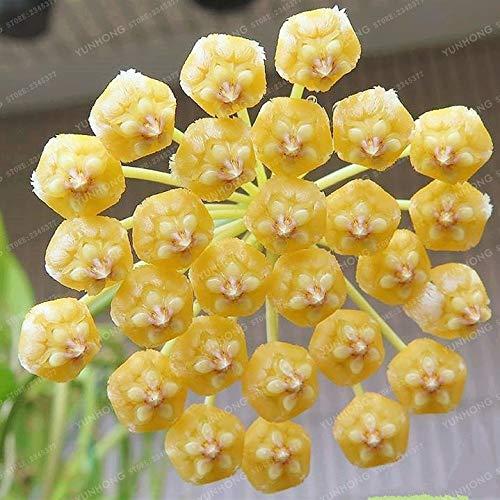 Generic Fresh 100Pcs Hoya Carnosa semillas de flores para pl