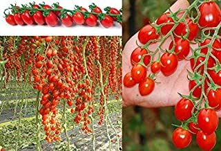 ANVIN Seeds Package: : - Semi Plum Tomato is Sweeter Pachino Italian Tomato Seeds Korn