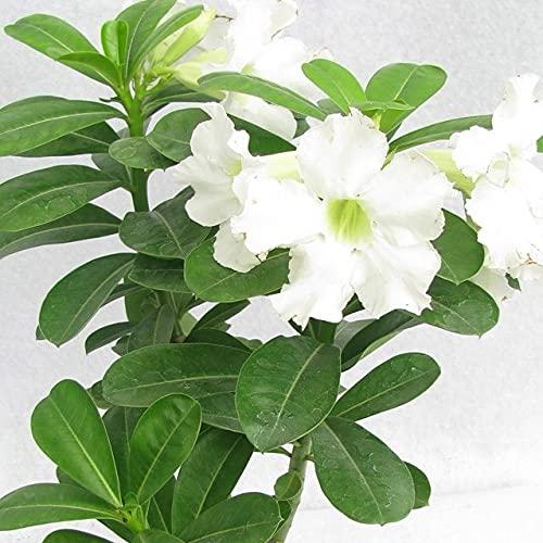 """Desert Rose """"White"""" Adenium Obesum Exotic Desert Flower"""