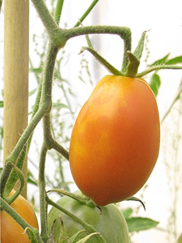 Russische Heirloom-Tomate 'Orange Banana' (Solanum lycopersicum) Bio 10 Samen