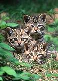 Cartes postales-série animaux (chat) : «félins (tRIO-gR - 10563)»