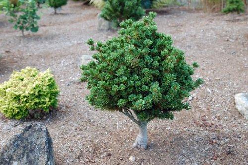 Adcocks Dwarf Japanese White Pine 1 - Year Graft