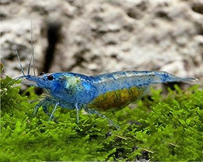 Garnelio - 5X Blue Jelly Garnele - Neocaridina davidi VAR. 'Blue Jelly '