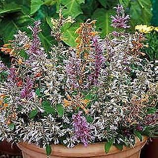 250 Seeds Agastache aurantiaca Fragrant Delight