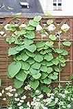 Kletterpflanze Aristolochia - Pfeifenwinde 40-60cm im 2L Topf gewachsen -