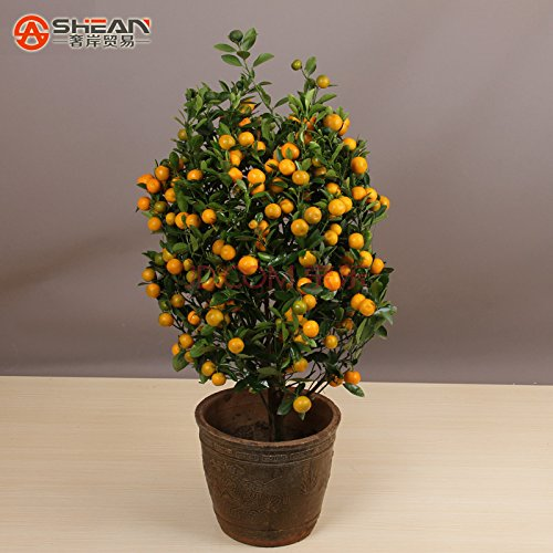 100pcs / bag Balcon Patio pot arbres fruitiers plantés Graines Kumquat Graines d'Orange Seeds Tangerine Citrus