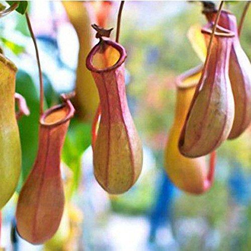 TENGGO Egrow 50 ST¨¹CKE Nepenthes Samen Topfpflanze Essen Mosqutio Einf¨¹gen Garten Im Freien Blumen Bonsai - 1