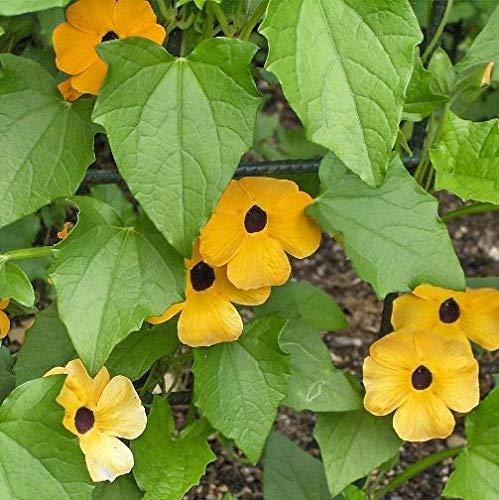Thunbergia rampicante gialla (Semente)