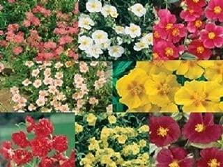 50+ Helianthemum Rock Rose Mix / Evegreen Groundcover / Perennial Flower Seeds