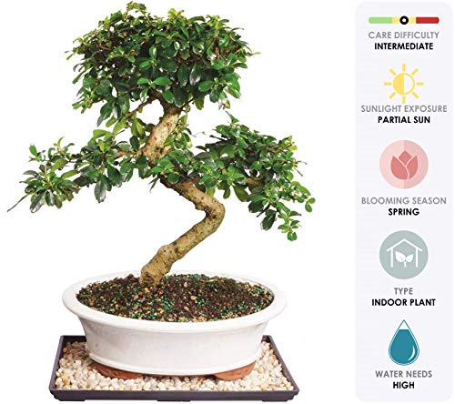 Brussel's Live Fukien Tea Indoor Bonsai Tree - 14 Years Old; 14' to 20' Tall with Decorative Container, Humidity Tray & Deco Rock