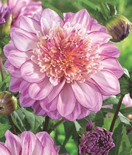 Anemonenblütige Dahlie Brindisii Knolle Blumenzwiebeln (1)