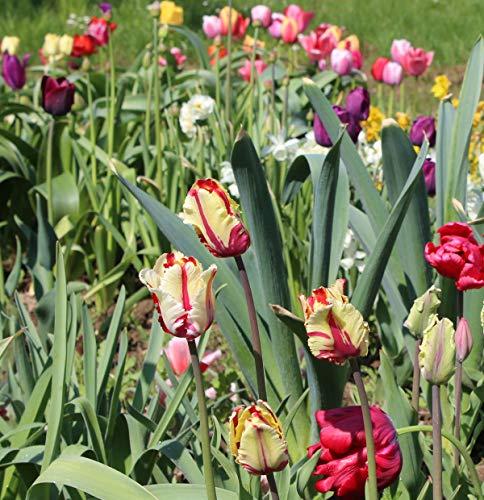 300 Blumenzwiebel bunte Mischung Tulpen Narzissen Krokus Muscari Allium mehrjährig winterhart