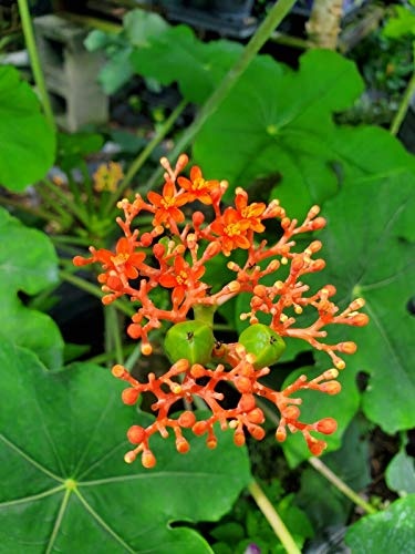AirGarden Buddha Belly - Jatropha Podagrica - Well Rooted with 7 to 12 inches Tall - Gallon Pot Size